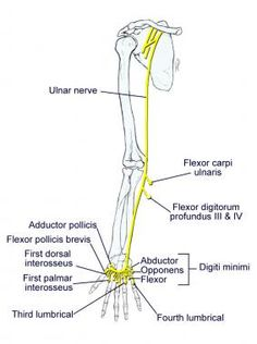 ulnar nerve diagram autometer temp gauge wiring 86 best images physical therapy health anatomy hand gross