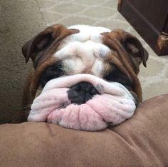 Popeye the English Bulldog. #adorable