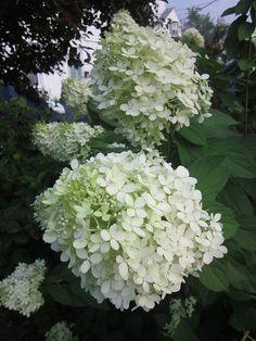limelight hydrangeas  love these
