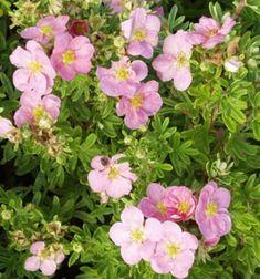 pensashanhikki Lovely Pink