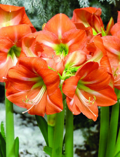 Hippeastrum, Nagano, Amaryllis, i have these same color even in my window. They are beautiful even when not in bloom. Exotic Flowers, Orange Flowers, Tropical Flowers, Amazing Flowers, Barbados, Amaryllis Bulbs, Amarillis, Asiatic Lilies, Bonsai Plants