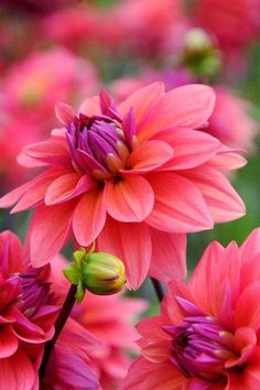 Amazing Stuffz: In the Garden , pink Dhalias