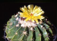 Notocactus sellowii (Wigginsia)