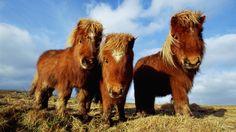 Shetland Pony | shetland pony, horse, pony | My wallpapers
