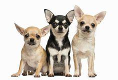 Żywienie psów ras małych