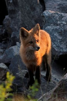Red Tail Fox (mother of 3) Algonquin Park Ontario, Canada July 2013.