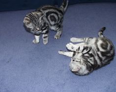 breeder of British shorthair black silver tabby and spotted kittens cats Silver Tabby Kitten, Tabby Kittens, Kittens Playing, British Shorthair, Black Silver, Animals, Animales, Animaux, Animal