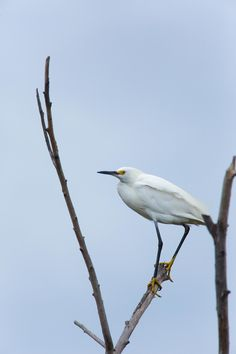 Snowy Egret by Steve Marquez on 500px