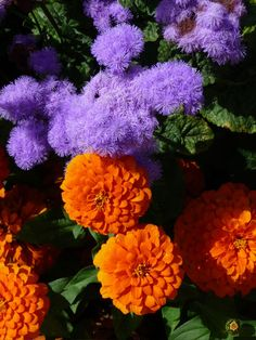 Orange Zinnia 'Magellan Orange' and Ageratum 'Blue Horizon' photo Alain Delavie