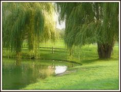 Willow Trees around the pond