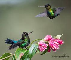 The conflict continues now with the fiery throated hummingbirds and they too become feisty and do not want to share their space with anyone not even their own species.