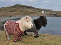 Shetland ponies Fliva and Vitamin in their Fair Isle cardis . photo by Rob McDougall. Shetland Islands, Scotland Shetland ponies Fliva and Vitamin in their Fair Isle cardis . photo by Rob McDougall. Baby Animals, Funny Animals, Cute Animals, Scotland Tourism, Belle Photo, Animal Kingdom, Edinburgh, Shetland Ponies, Shetland Wool