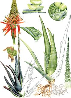 Aloe vera (L. / Sarı sabır on Behance Plant Painting, Plant Drawing, Plant Art, Vintage Botanical Prints, Botanical Drawings, Botanical Art, Plant Illustration, Botanical Illustration, Aloe Vera Tattoo