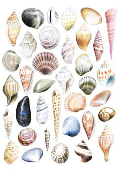 Shell Drawing, Painting & Drawing, Botanical Drawings, Botanical Prints, Watercolor Cards, Watercolor Paintings, Desenio Posters, Polychromos, Art Sketchbook