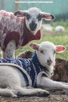 Acá en Chile estamos en invierno y en los días que hace mucho frío Sofía y Clarita tienen una capita para ayudarles a mantener el calor de su cuerpo. Como fueron rescatadas muy bebés y en malas condiciones su sistema inmune es muy débil y debemos tomar todas las precauciones para que no se enfermen y se sientan bien.  El trabajo de ellas por otra parte es la resilencia. La resilencia es la capacidad que tenemos los animales de sobreponernos curar nuestras heridas y seguir adelante a pesar de…