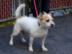 SAFE 11/6/14! Was TO BE DESTROYED - 11/03/14 Manhattan Center ***NEW PHOTO*** My name is SPIKEY. My Animal ID # is A1018856. I am a male white and tan shih tzu and jack russ terr mix. The shelter thinks I am about 3 YEARS old. For more information on adopting from the NYC AC&C, or to find a rescue to assist, please read the following: http://urgentpetsondeathrow.org/must-read/