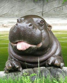 These Adorable Photos Of Baby Hippos Redefine Cuteness Overload Good bo. - These Adorable Photos Of Baby Hippos Redefine Cuteness Overload Good boy now sit - Baby Animals Pictures, Cute Animal Pictures, Baby Pictures, Baby Images, Nature Pictures, Cute Little Animals, Cute Funny Animals, Safari Animals, Animals And Pets