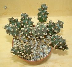 Tephrocactus molinensis  Nr. 2 Succulents, Ebay, Plants, Cacti, African, Pictures, Succulent Plants, Plant, Planets