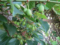 Kiwibeere ist eine pflegeleichte Kletterpflanze