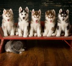 Husky puppies