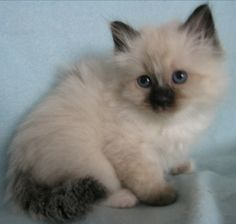 #Birman #Kitten ...... What a cute baby kittie