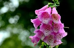 Clochettes  #rose #tacheté #fleur - Digitalis purpurea - Digitale Rose, Flowers, Nature, Plants, Garden, Pink, Garten, Roses, Naturaleza