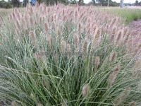 NAFRAY ® - A mid-sized native grass with foxtail flowers in autumn, Australian online nursery Foxtail Grass, Australian Plants, Australian Garden, Outdoor Plants, Outdoor Gardens, Pool Plants, Coastal Gardens, Plants Online, Gardens