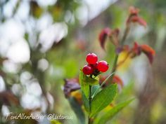 The season's changed so quickly and the berries are already red and juicy.  #jaketalbotinvestigates #JTI #amwriting #writersofinstagram #writerslife #writer #autumn #seasonchanges #seasonal #berries #redberries #naturelovers #bestnatureshot #best_free_shot #best_macro #plants #autumncolours #autumnberries #garden #photooftheday #amazingcaptures #fiftyshades_of_nature #lovethis #naturesbeauty #naturesart #naturespatterns #lovenature
