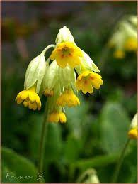 Narcisse jonquille martinette bulbes floraison for Soigner amaryllis