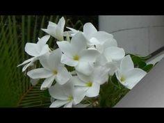 Pluméria pudica, Buquê de noiva, Jasmim do Caribe, Plantas decorativas, Jardinagem, - YouTube