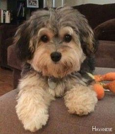 Source by neomihernandez The post Havanese Full Grown – Havanese puppies appeared first on Daisy Dogs. Havanese Haircuts, Havanese Grooming, Havanese Puppies, Cute Puppies, Cute Dogs, Dogs And Puppies, Doggies, Westie Dog, Bernedoodle Puppy