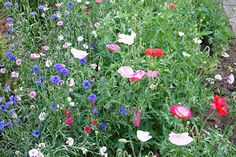 Title: Hardy annuals Description: Papaver 'Shirley Mixed' (Shirley Poppies) and Centaurea cyanus (cornflower), nigella, etc