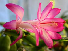 Is your Christmas cactus not blooming? The darn things are downright fussy! My first cactus I received as a gift It met a horrible fate. The secret to bloom Blossom Flower, Cactus Flower, Flower Pots, Cactus Cactus, Planting Succulents, Planting Flowers, Flowering Plants, Garden Plants, Euphorbia Pulcherrima