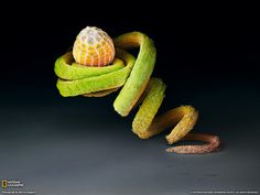 Dryas iulia - Julia heliconian butterfly egg. Perched on the tendril of a Passiflora plant, the egg of the Julia heliconian butterfly may be safe from hungry ants. This species lays its eggs almost exclusively on this plant's twisted vines.