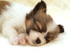 """Yavru bir köpek günün büyük bir kısmını uyuyarak geçirir. Hatta bazen deyim yerindeyse """"ölü gibi uyur"""". Çünkü uyku da yavru için büyük bir gereksinimdir. Bazen köpek sahipleri bu durumdan telaşlanıp köpeğinin hasta olduğunu zanneder. Ancak endişe etmeyin. Bu durum çok normaldir. Köpeğinizi yerinden zorla çıkarmaya çalışmayın. Eğer orada durmak istiyorsa bırakın kalsın. Kendi istediği zaman zaten çıkacaktır."""