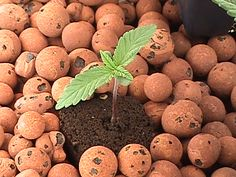 Marijuana Growing Soils