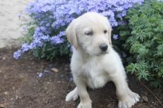 Labradoodle Puppies For Sale, Labrador Retriever, Cute, Labrador Retrievers, Kawaii, Labrador, Labrador Retriever Dog