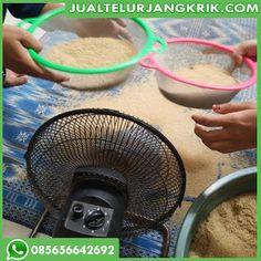 Telur Jangkrik di Bali Cirebon, Palembang, Bogor, Surabaya, Jakarta, Granddaughters