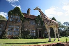 """Giraffe Manor, a luxury boutique hotel located 12 miles outside of Nairobi, was set up by the African Fund for Endangered Wildlife as a breeding and conservation center for the endangered Rothschild Giraffe. Can you think of anything better than waking up in Kenya to feed a herd of giraffes over your breakfast table?"""