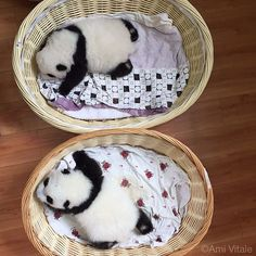 Photo by @amivitale #onassignment in China for @natgeo. Get ready for cuteness overload! Baby pandas sleep in baskets at the Bifengxia Giant Panda Breeding and Research Center in Sichuan Province. I am in China to document this year's bumper crop of baby pandas born at the breeding center. I'm grateful for the rare and exclusive access into the world of pandas. I want to explore how an animal this elusive and rare became so beloved and popular.