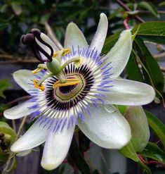 Így gondozzuk a golgotavirágot Gardening, Google, Plant, Garten, Lawn And Garden, Garden, Square Foot Gardening, Garden Care, Horticulture