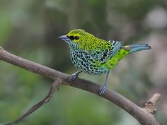 speckled tanager    (photo by yamil saenz)