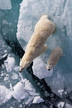Polar Bears | by: {Marcelo Damien Diaz}