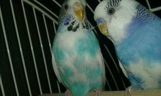 Andulky naše Lilly a Max