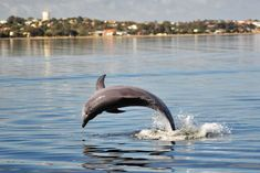 Indo-Pacific bottlenose dolphin at Leschenault Estuary, Bunbury (South West coast of Western Australia). Murdoch University researchers say male dolphins from the Bunbury area are roaming the coastline for mates, but females are staying close to home. Photo: Kate Sprogis/MUCRU