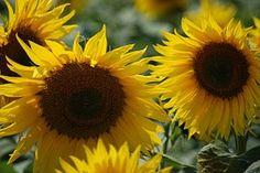 Sunflower, Wildflower, Summer, Flower