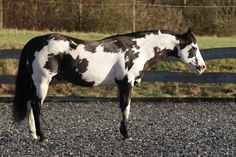 Paint horse, black and white Frame Overo. Most Beautiful Horses, All The Pretty Horses, Animals Beautiful, Cute Animals, Horse Photos, Horse Pictures, Cheval Pie, American Paint Horse, Appaloosa Horses