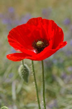 292 best poppies images on pinterest poppies beautiful flowers pictures of poppies bing images mais mightylinksfo