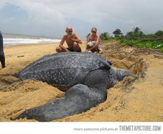 Giant Leatherback sea turtle…
