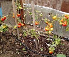 Nothing better than your own veggies! Terrarium, Veggies, Garden, Decor, Lawn And Garden, Plant, Terrariums, Decoration, Gardens